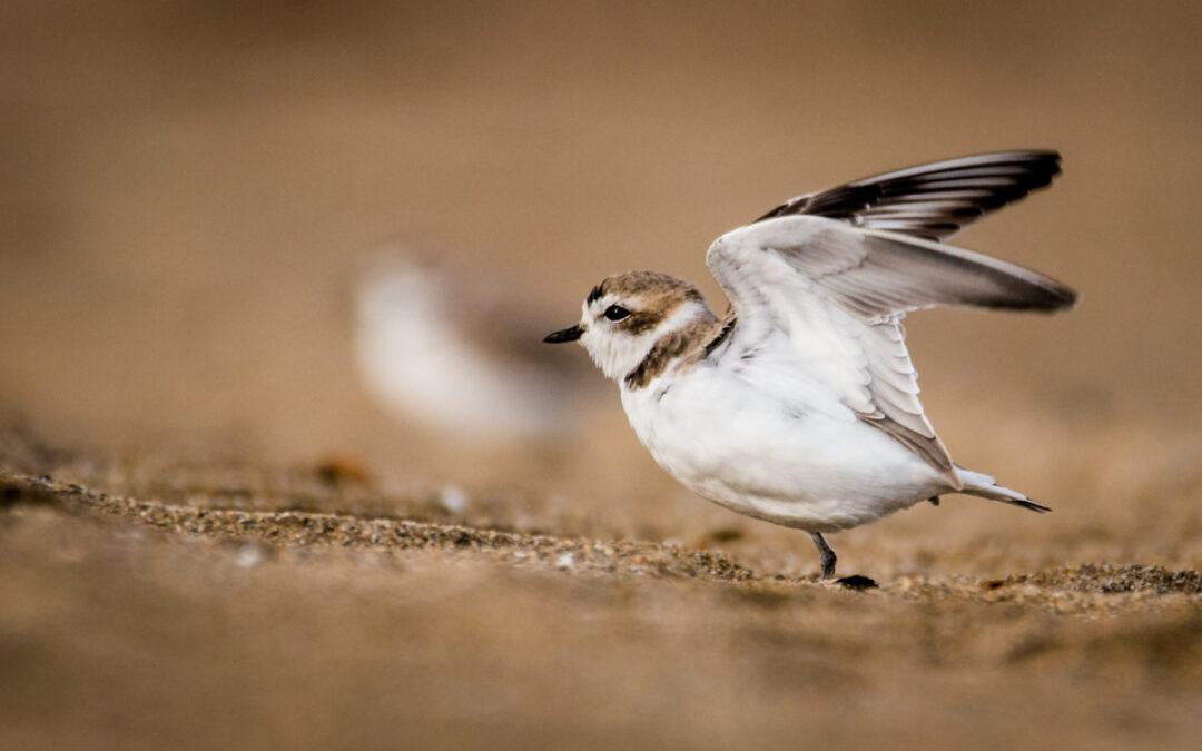 Día mundial de las aves playeras: un 50% está disminuyendo su población