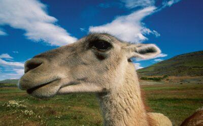 En la intimidad de los guanacos