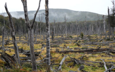 Castores en la Patagonia han ocasionado daños equivalentes a más de 70 millones de dólares