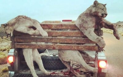 Gobierno de la provincia del Chubut, Argentina, promulgó una ley para incentivar la caza de pumas y zorros colorados