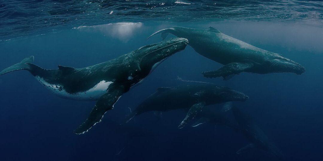 La innovación chilena que busca proteger las ballenas a través de boyas inteligentes